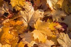 Guld- höst Gula och bruna lönnlöv Naturlig höstbakgrundsnärbild Gula guld- nedgånglönnleavs arkivfoto