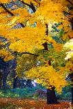 Guld- höst i skogen Arkivfoton