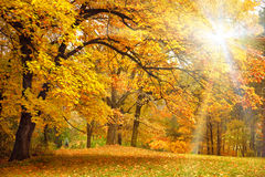 Guld- höst med solljus/härliga träd i skogen