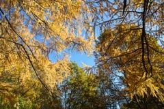 Guld- höst Sagolika guld- trädfilialer i solig dag för höst Arkivbild