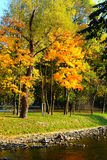 Guld- höstträd och flod Fotografering för Bildbyråer