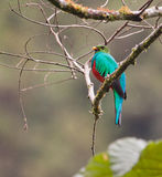 guld- hövdad legendarisk quetzal Royaltyfri Foto