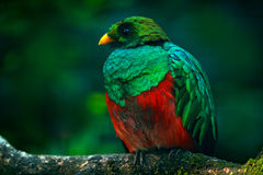 Guld--hövdad Quetzal, Pharomachrus auriceps, Ecuador royaltyfri fotografi