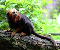 Guld--hövdade Lion Tamarin på Apenheul royaltyfri foto
