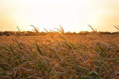 Guld- havrefält på solnedgången Royaltyfria Bilder