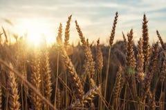 Guld- havrefält som omges av en varm solnedgång Arkivfoto