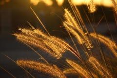 Guld- havsgräs Royaltyfri Fotografi