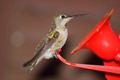 guld- hummingbird Royaltyfria Bilder
