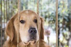 Guld- hund Royaltyfri Fotografi