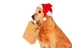 guld- hund min retriever Arkivfoto