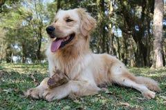 Guld- hund som kyler i skog Fotografering för Bildbyråer