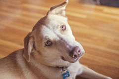 Guld- hundframsida Arkivbild