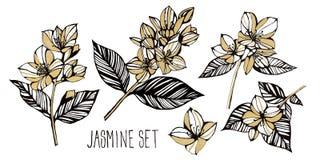 Guld- jasminuppsättning på en vit bakgrund Handblyertspennateckning tappning för stil för illustrationlilja röd Design för textil vektor illustrationer