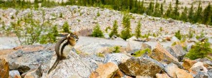 guld- jordning täckt ekorre Royaltyfri Bild