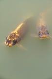 Guld- karp för stor fisk i sjön Arkivbilder