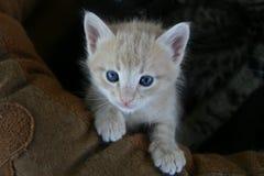 Guld- kattunge Royaltyfri Foto