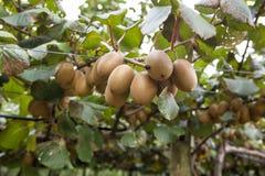 Guld- Kiwi Fruit slut upp arkivfoto