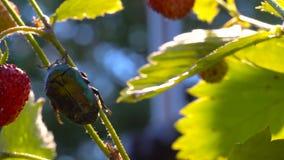 Guld- klättring för Chaferskalbagge (Cetoniaaurata) på jordgubbebusken lager videofilmer