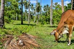 Guld- ko som äter grönt gräs Arkivfoton