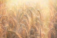 Guld- korn av vete - vetefältet ska komma med en rik skörd Royaltyfri Bild