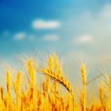 Guld- korn på fält i solnedgång arkivfoton
