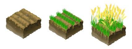 Guld- korn som växer korn royaltyfri illustrationer