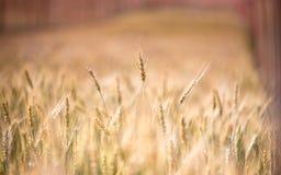 Guld- kornfält Royaltyfri Bild