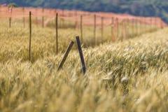 Guld- kornfält Royaltyfria Foton