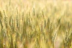 Guld- kornfält Fotografering för Bildbyråer