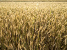 Guld- kornskörd i det Juli solskenet Royaltyfri Fotografi