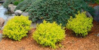 Guld- kulle Spirea som landskap buskar Arkivfoto