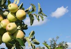 Guld- - läckra äpplen Royaltyfri Bild
