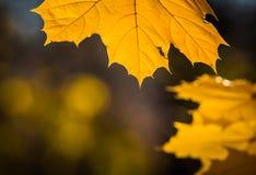 Guld- lönnlöv backlit av solen Arkivfoton
