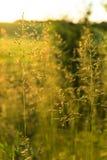 Guld- löst gräs på solnedgången i panelljus Arkivfoton