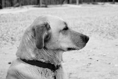 Guld- labrador Royaltyfri Fotografi