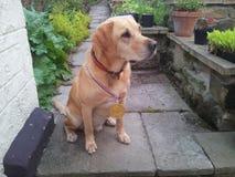 Guld- labrador som bär en medalj Arkivbilder