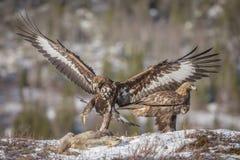 guld- landning för örn royaltyfri foto