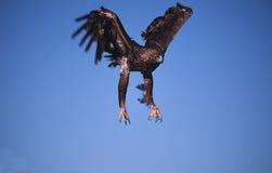 guld- landning för örn royaltyfri bild