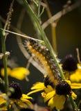 Guld- larv Arkivfoton