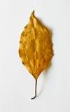 guld- leaf Arkivfoton