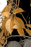 guld- leaf arkivbilder