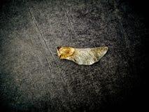 guld- leaf Fotografering för Bildbyråer