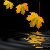 guld- leaflönn för skönhet arkivbild