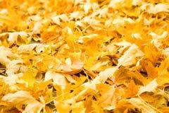 guld- leaves Royaltyfri Bild