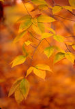 guld- leaves royaltyfria bilder