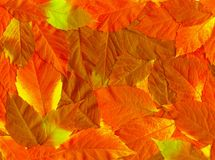 guld- leaves för fall Royaltyfri Bild