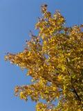 guld- leaves för höst Royaltyfri Fotografi