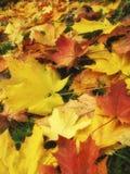 guld- leaves för höst Arkivbild