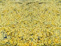 guld- leaves för höst Fotografering för Bildbyråer