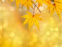 guld- leaves för höst Royaltyfria Foton